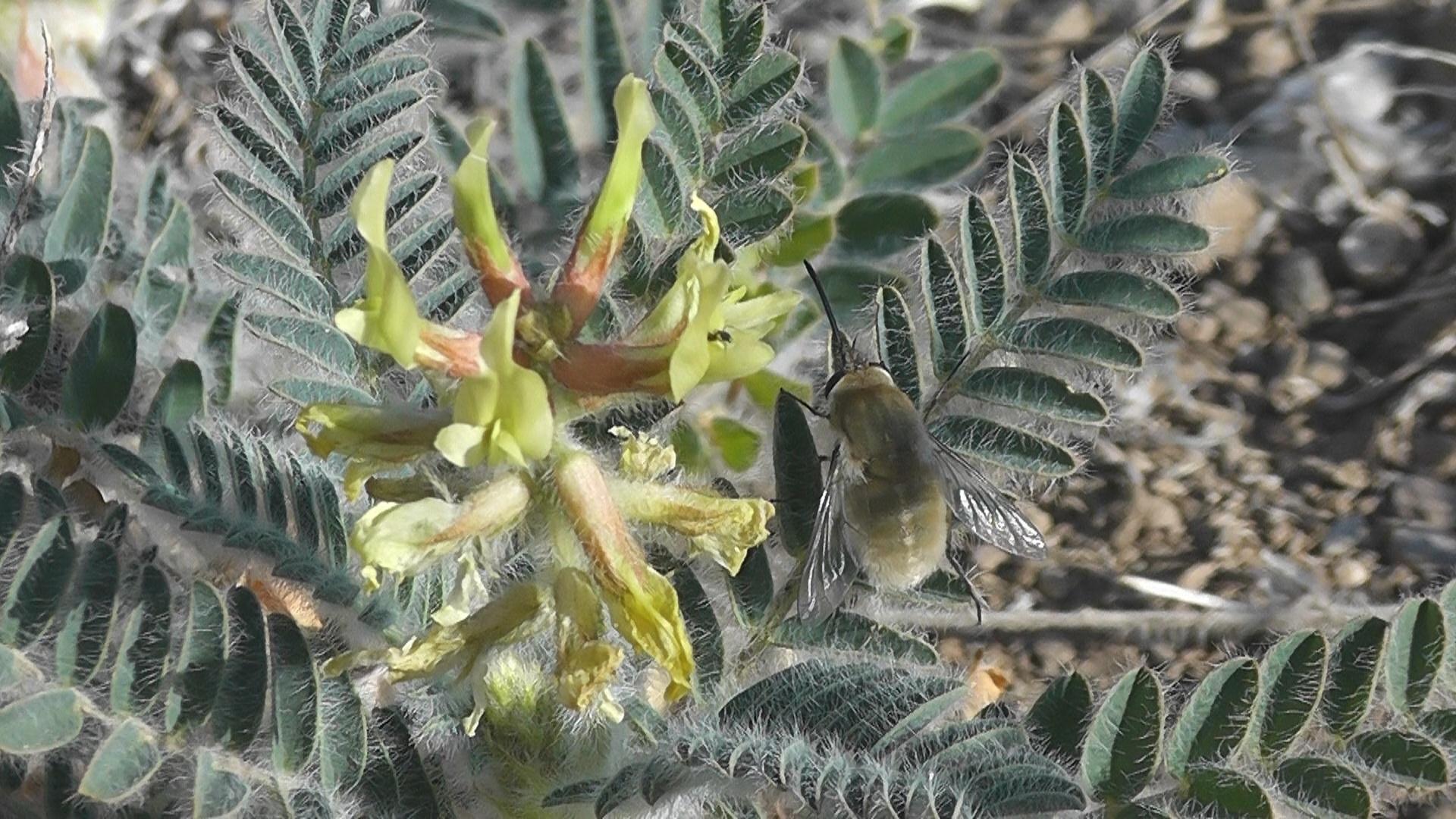 Un insecto, posado sobre la flor de garbancillo de Tallante.