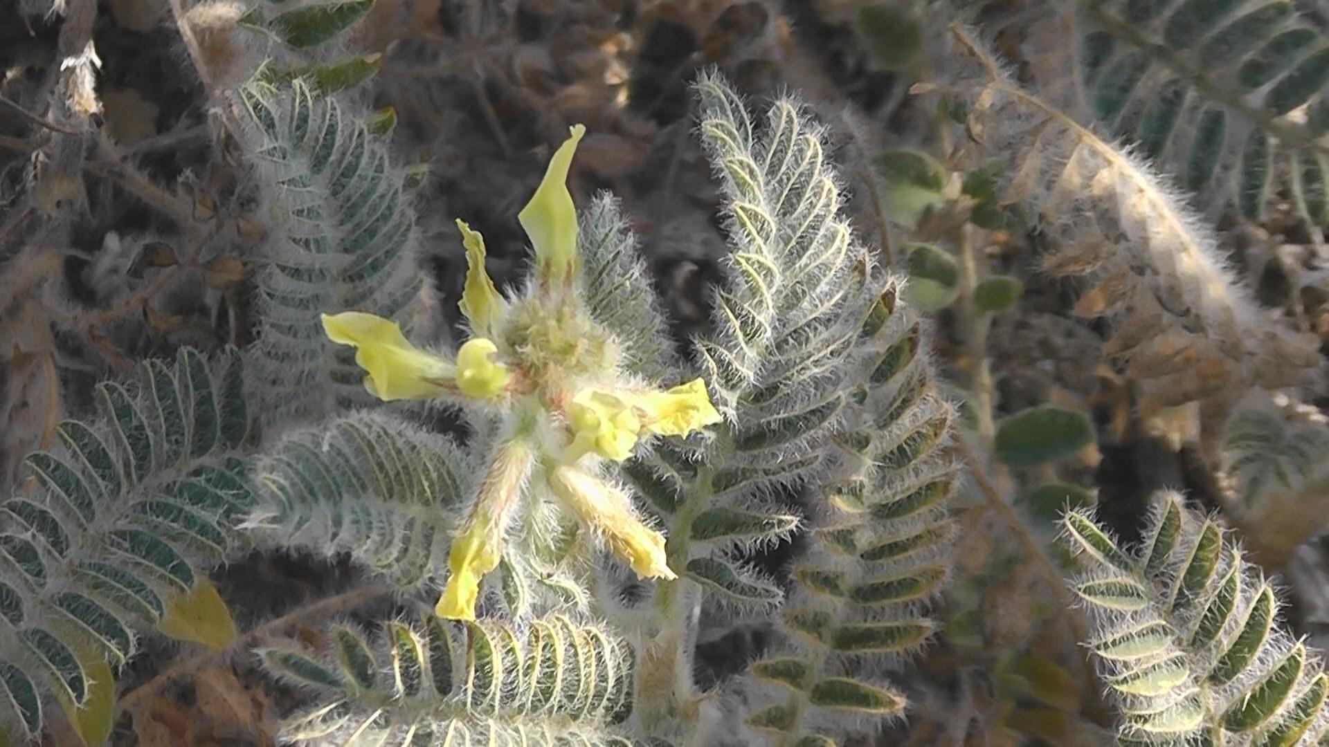 Flor de garbancillo de Tallante.