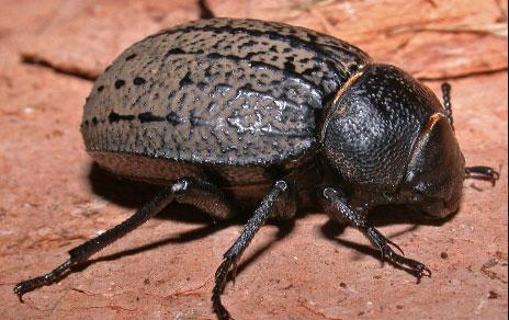 Uno de los escarabajos estudiados (Pimelia amblypteraca chrysomeloides). Imagen: Mario García París / MNCN