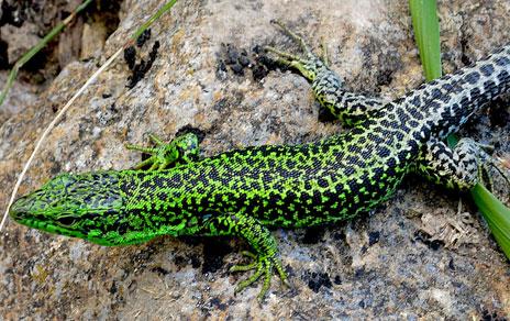Una lagartija cantábrica captada en Sierra de Guadarrama. Imagen: Ignacio de la Riva