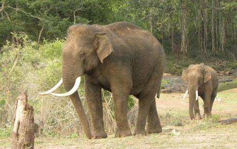 Elefantes del subcontinente indio. Imagen: MNCN-CSIC