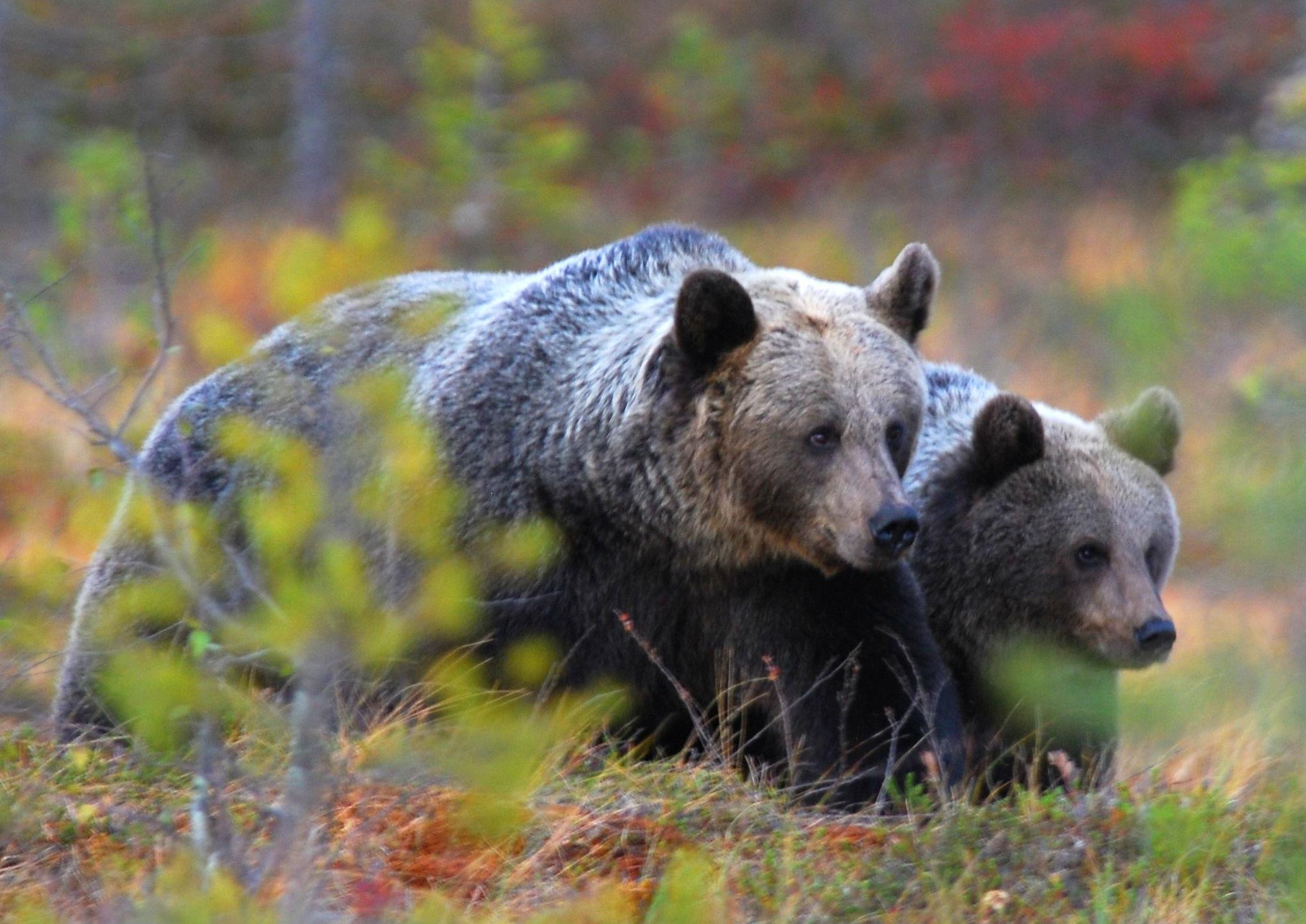 La investigación abarca desde el oso pardo europeo al 'grizzlie' norteamericano. Imagen: CSIC