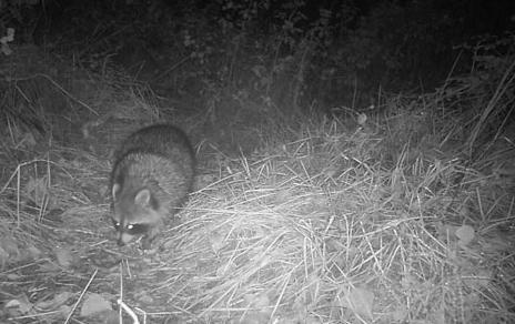 Un mapache en el medio natural, captado con una cámara de fototrampeo. Imagen: MNCN-CSIC