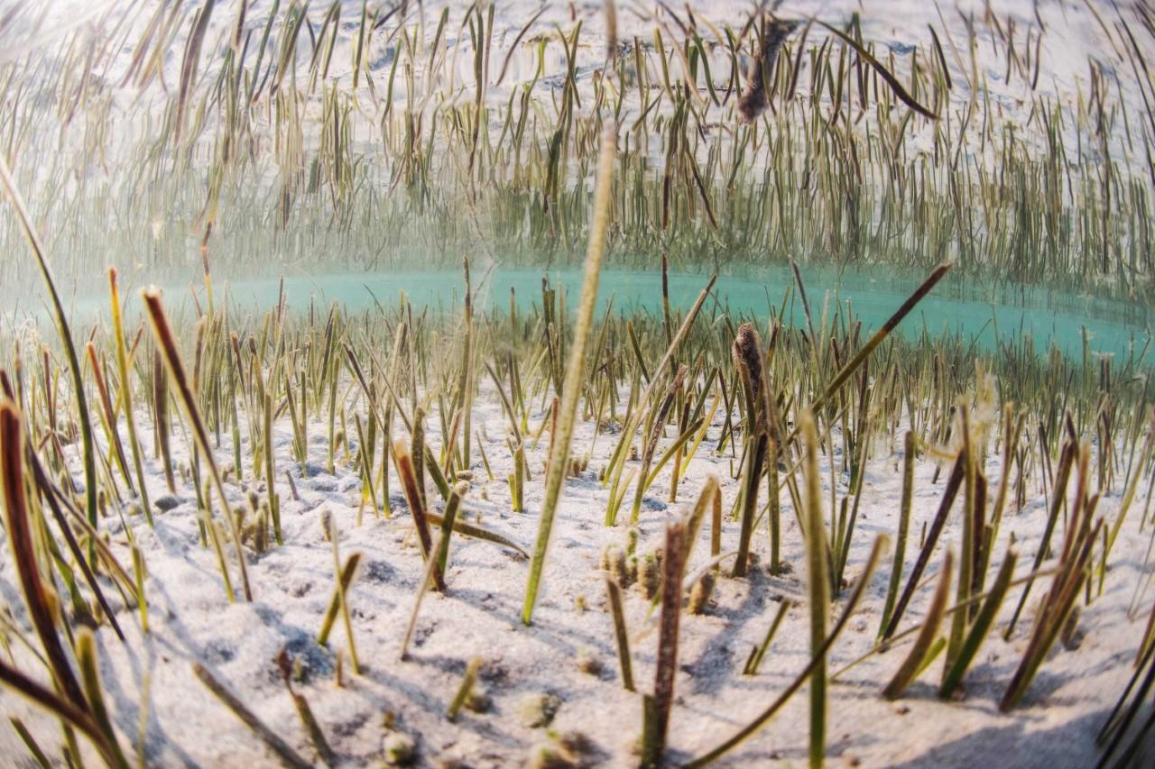 Aspecto de una pradera de posidonia en fondos de la costa de la Región de Murcia. Imagen: CARM