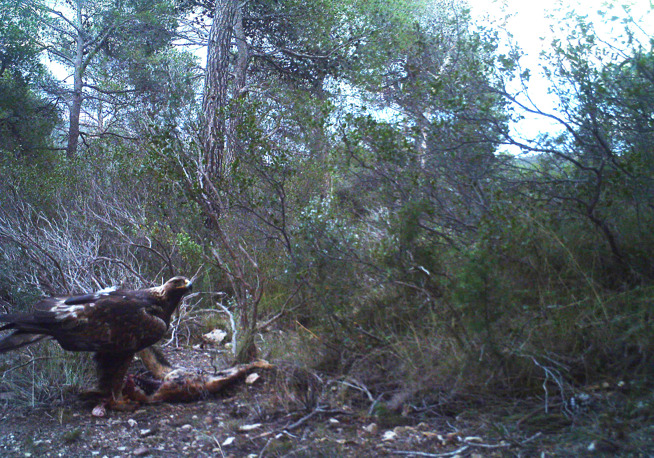 Aunque varias especies de carroñeros vertebrados -como el zorro, la garduña o el jabalí- visitaron los cadáveres, el águila real fue la única especie que consumió parcialmente uno de ellos. Imagen: Fuente: Carlos Muñoz Lozano y otros / UMU