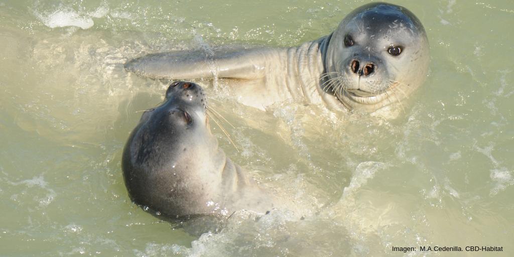 Subadultos de foca monje jugando. Imagen: M. A. Cedenilla. CBD-Habitat