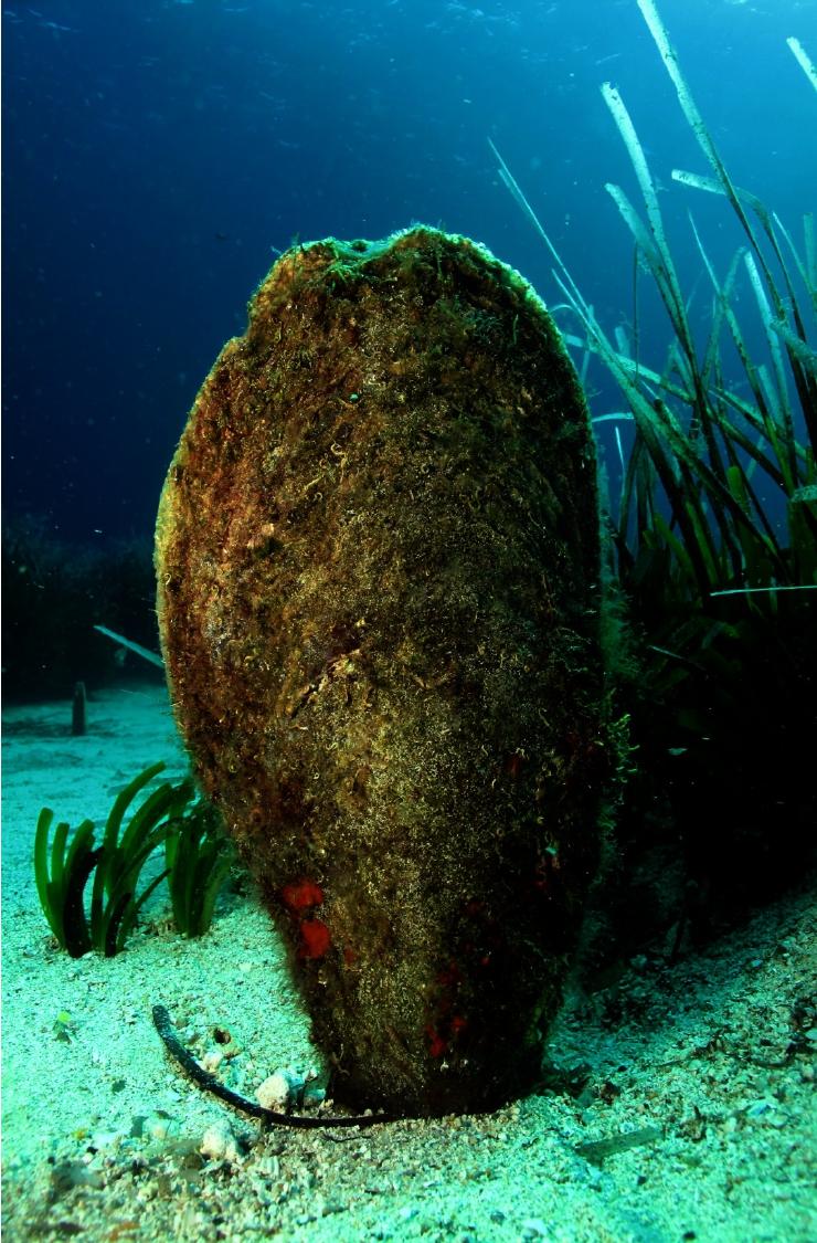 Un ejemplar de nacra, el molusco endémico del Mediterráneo de mayor tamaño. Imagen: Miteco