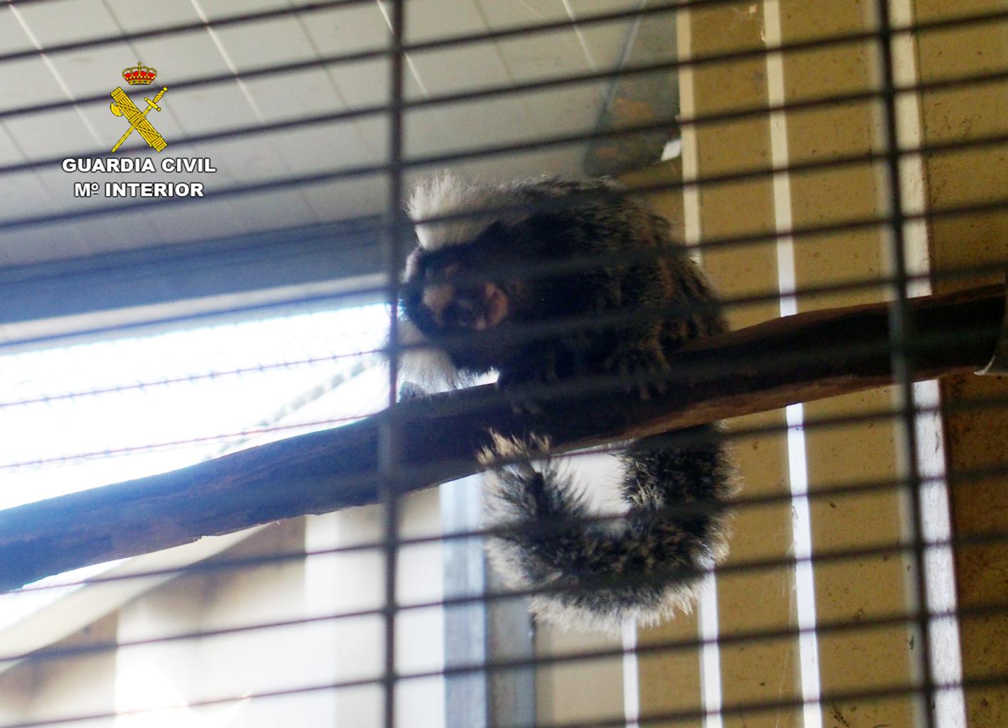 Tití de pincel blanco, uno de los primates incautados por el Seprona en la Región de Murcia. Imagen: Seprona