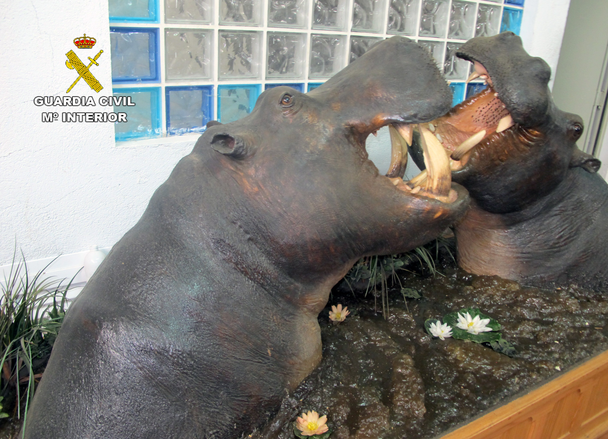 Dos fragmentos de hipopótamos recreando un baño en el río. Imagen. Seprona