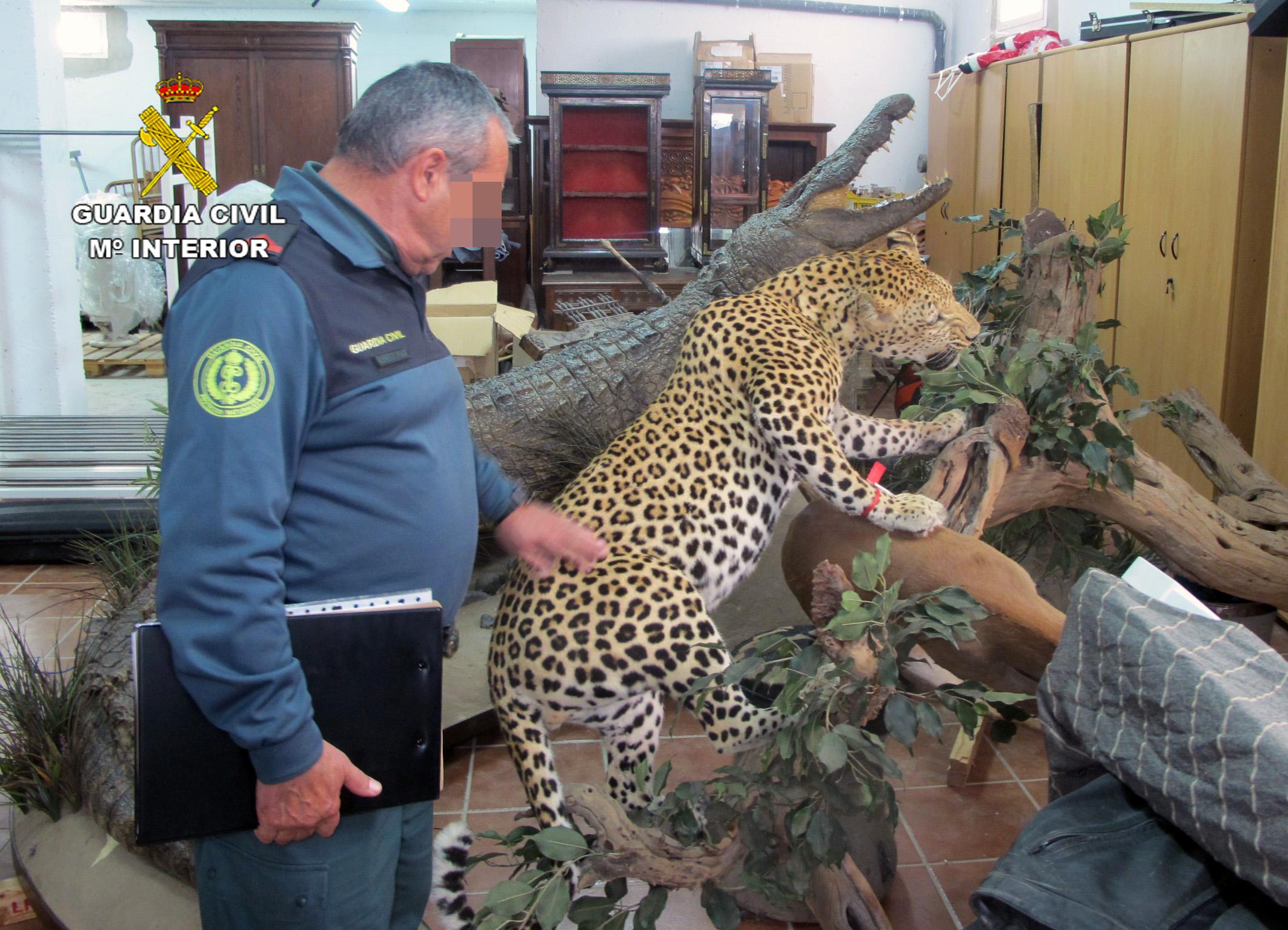 Un leopardo colocado sobre la recreación de un árbol. Imagen: Seprona