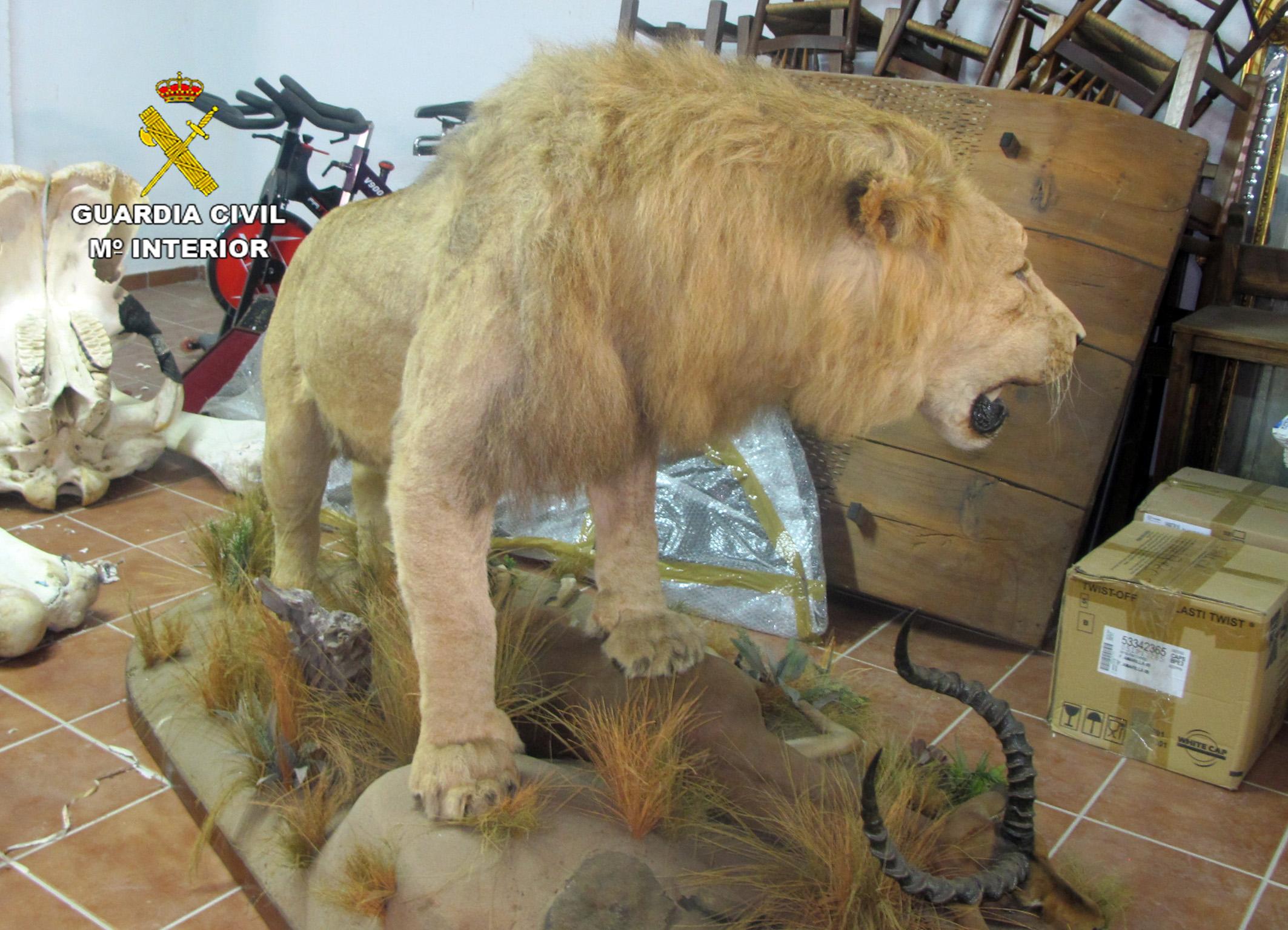 El león, visto desde atrás. Imagen: Seprona