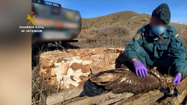 Los agentes encontraron milanos negros, milanos reales y busardos ratoneros, entre otras especies. Imagen: Seprona