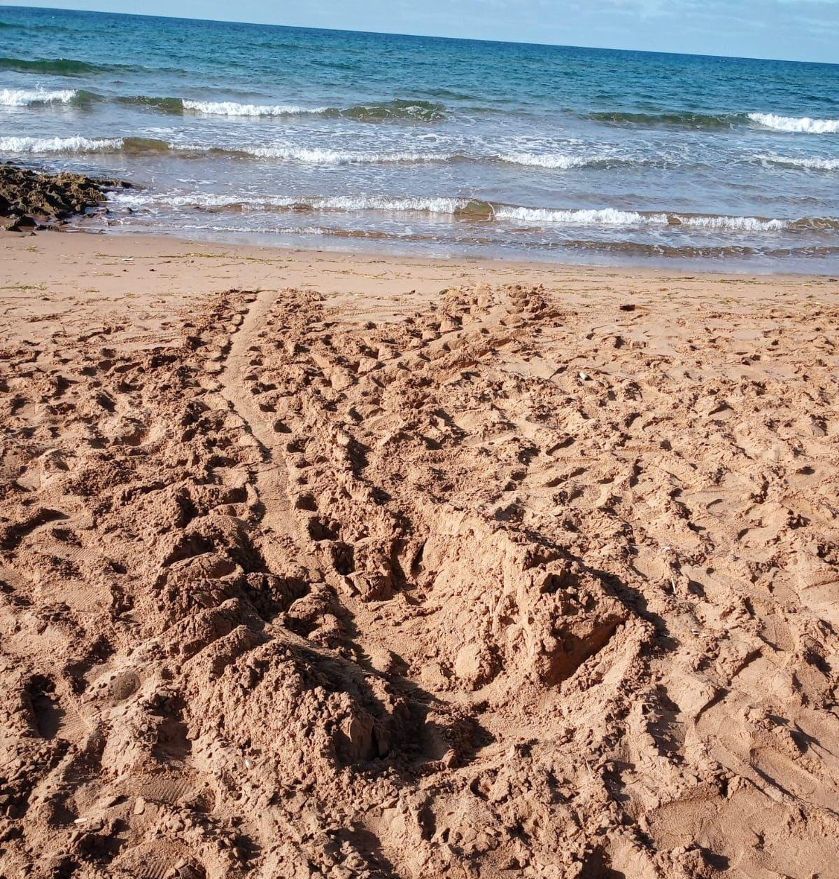 Primeros rastros de tortuga marina en la Región esta temporada, en Calblanque. Imagen: CARM
