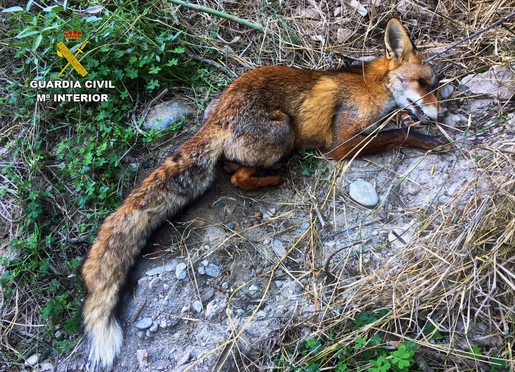 El cuerpo de uno de los zorros hallado en la operación 'Lubril'. Imagen: Guardia Civil