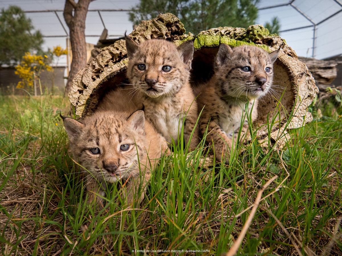 Tres nuevos ejemplares, en el Centro de Cría de El Acebuche. Imagen: Miteco