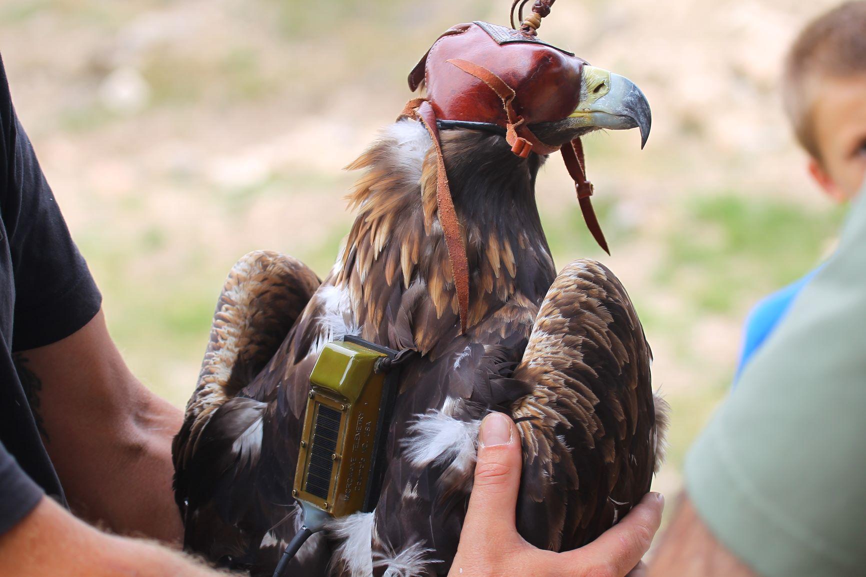 Un momento del marcaje del animal. Imagen: Miteco