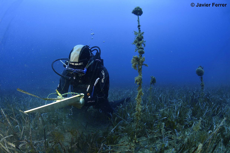Trabajos de seguimiento de la posidonia en el litoral murciano. Imagen: Javier Ferrer / IEO