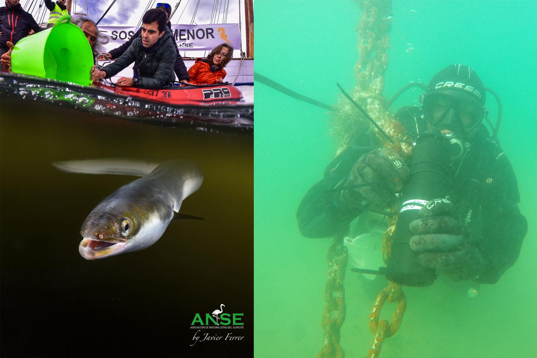 Izda.: una preciosa imagen de un  momento de la liberación. Imagen: Javier Ferrer / ANSE. Dcha.: colocación de receptores de telemetría para detección de anguilas. Imagen: Pedro García / ANSE