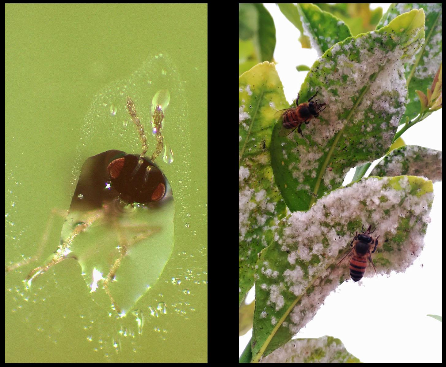 A un lado un parasitoide y al otro abejas, dos ejemplos de seres vivos que se alimentan de melaza.  Imagen: Universidad de Valencia