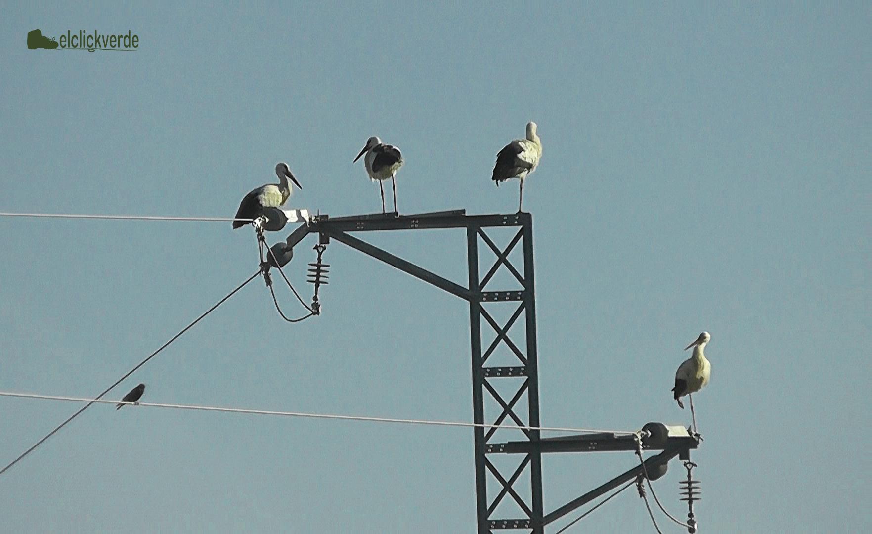 Las cuatro cigüeñas en lo alto de la torre. Son capaces de pasarse  horas y horas en esta postura