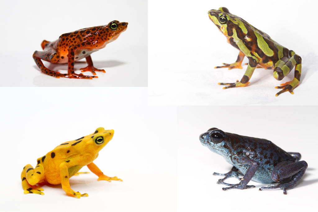 De izquierda a derecha y de arriba a abajo: 'Atelopus certu', 'Atelopus-varius', 'Atelopus zeteki' y 'Oophaga vicentei'. Imagen: Brain Gratwicke / CSIC