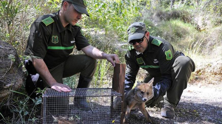 Agentes ambientales liberando a un zorro. Imagen de archivo de la CARM