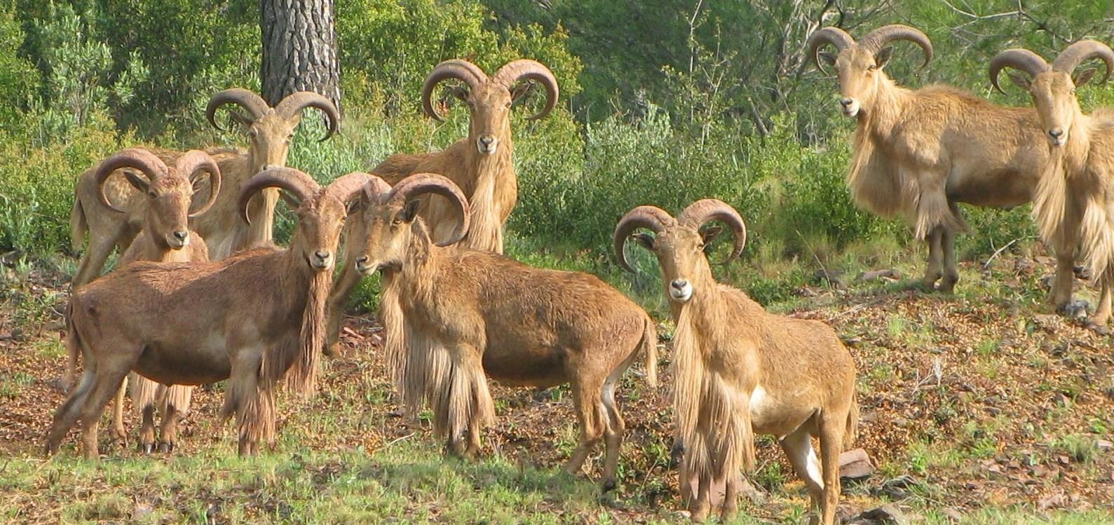 Grupo de machos de arruí en Sierra Espuña. Imagen de archivo de la CARM