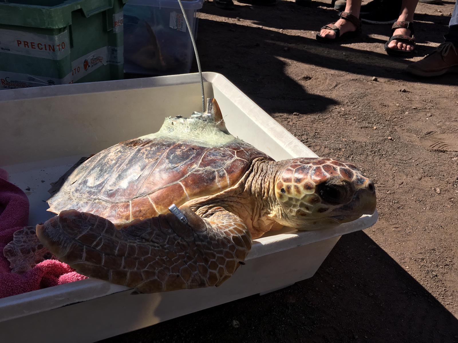 Un momento de la liberación de las tortugas bobas en el Parque Regional de Calblanque. Imagen: CARM