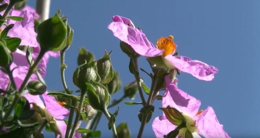 Un ejemplar de jara de Cartagena en flor. Imagen: CARM
