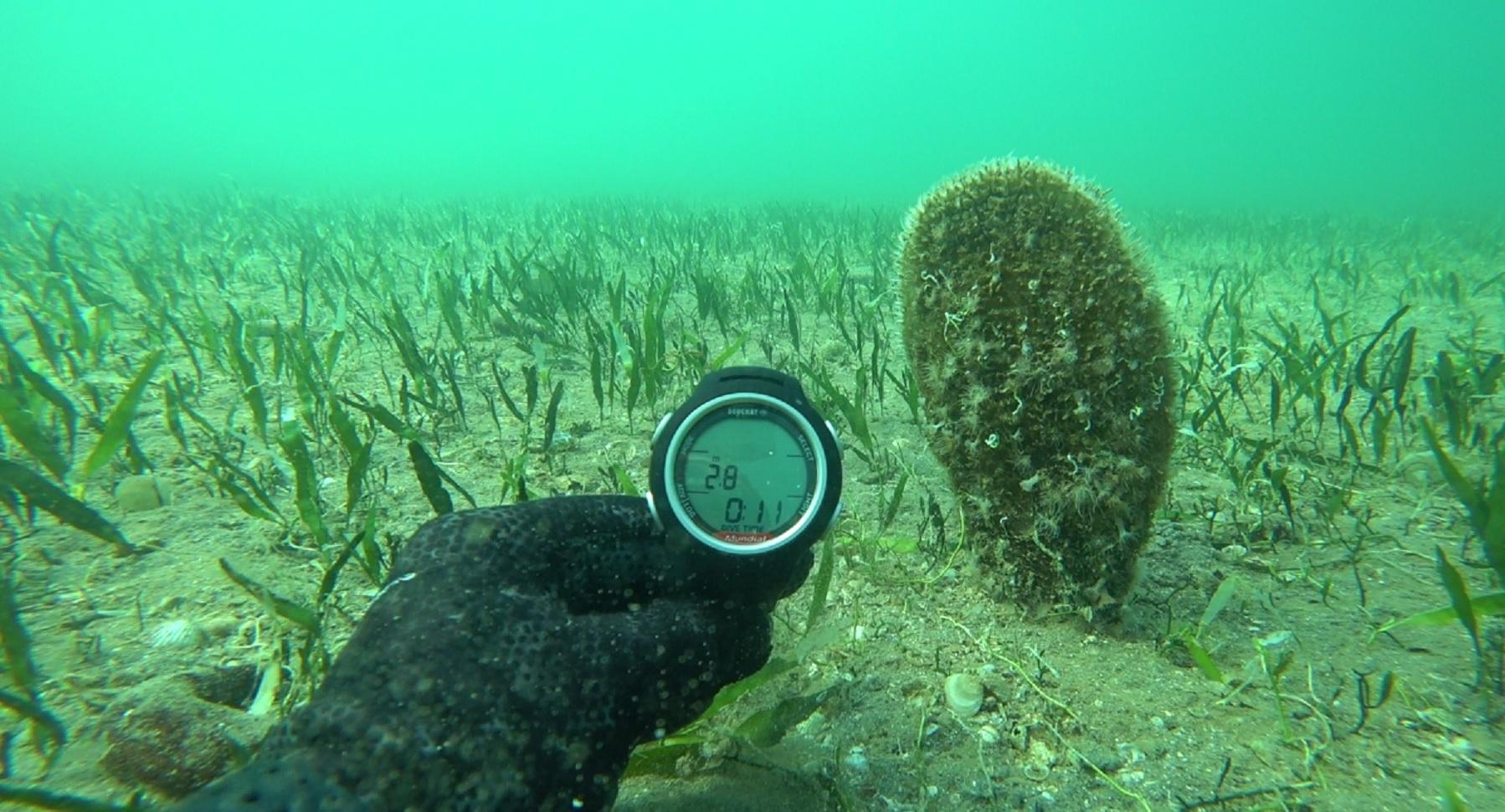 Colonia de nacras recién descubierta  en el Mar Menor. Imagen: CARM