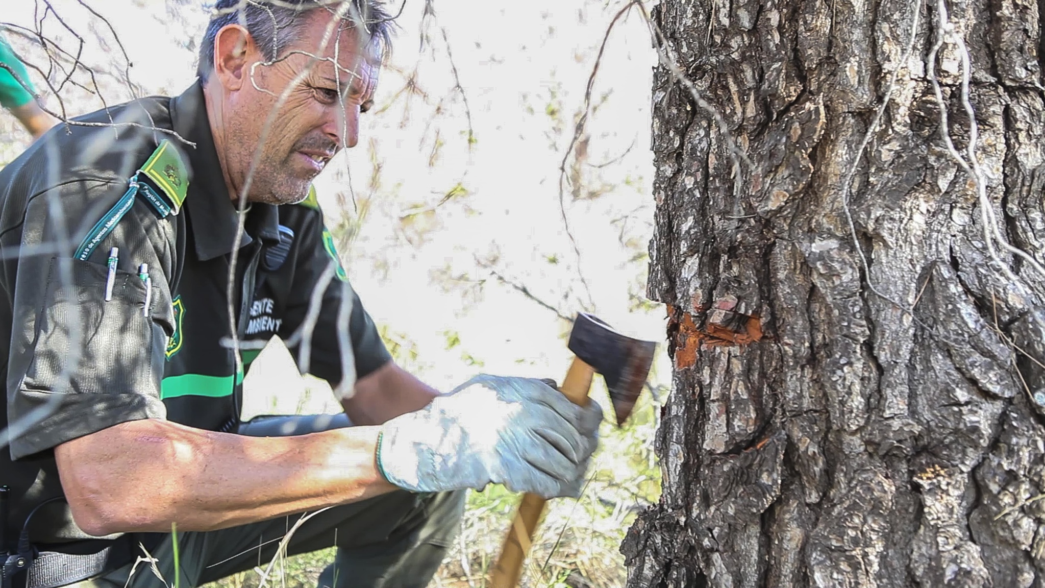 Acciones manuales contra la procesionaria del pino. Imagen: CERM