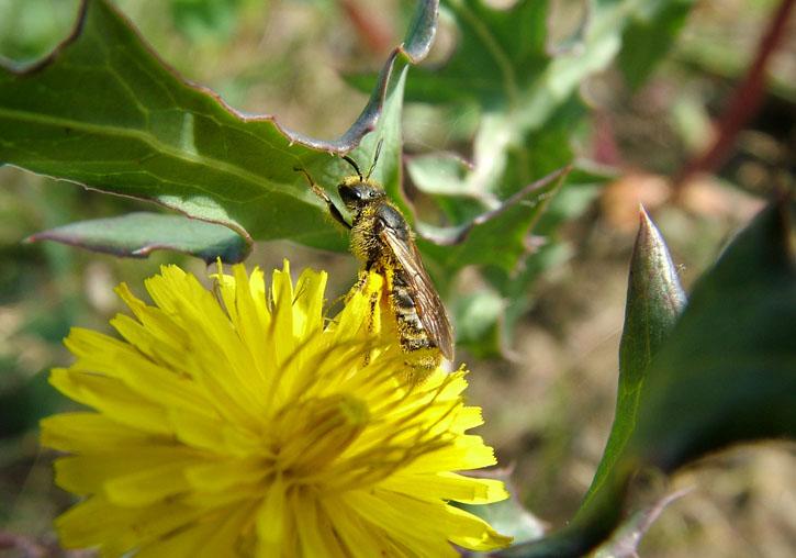 Aspecto de la especie 'Lasioglossum mallacharum', abeja polinizadora más importante del estudio. Imagen: @Carlo Polidori / UV