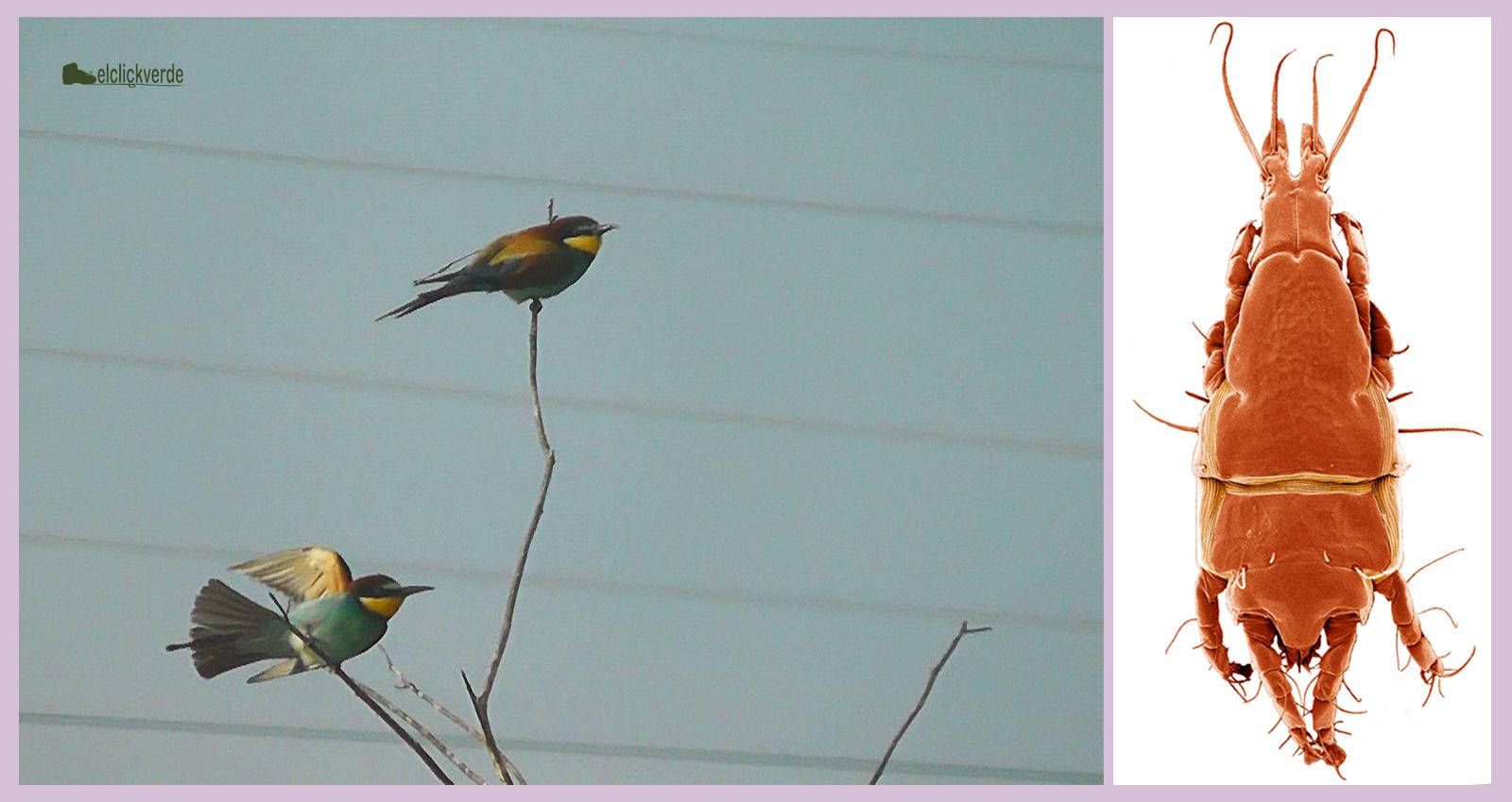 A la izquierda, un par de abejarucos. A la derecha, ácaro de la especie 'Trouessartia bifurcata', una de las utilizadas en el estudio. Imagen del ácaro: Heather C. Proctor / CSIC