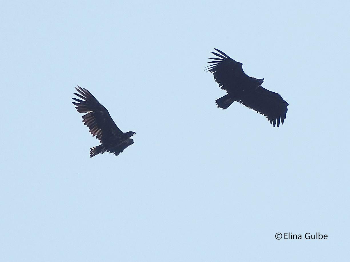 El buitre negro, perseguido por el pigargo. Imagen: Elina Gulbe