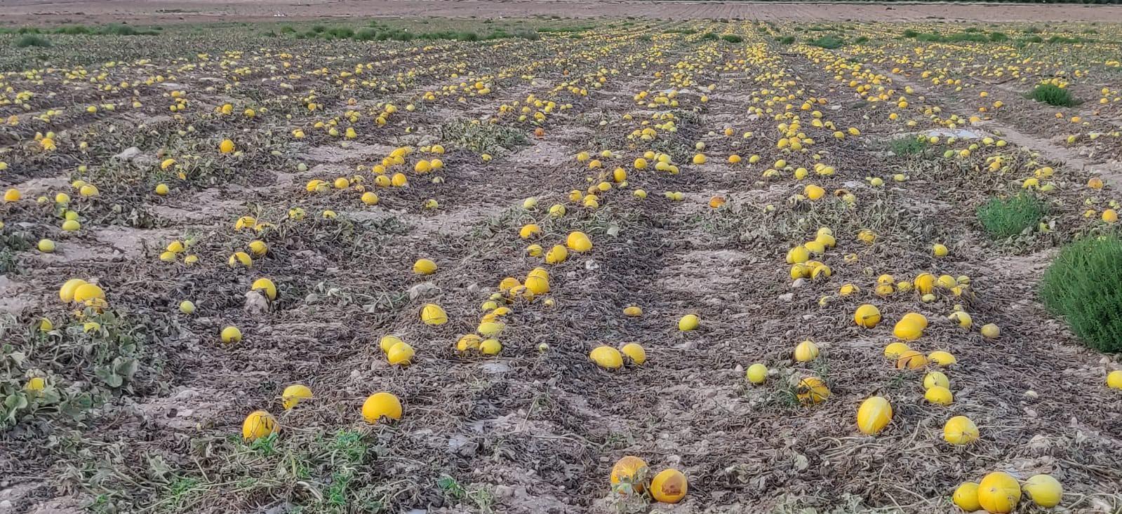 Melones abandonados en Yecla, septiembre 2019. Imagen: Plataforma Ciudadana Salvemos el Arabí y Comarca