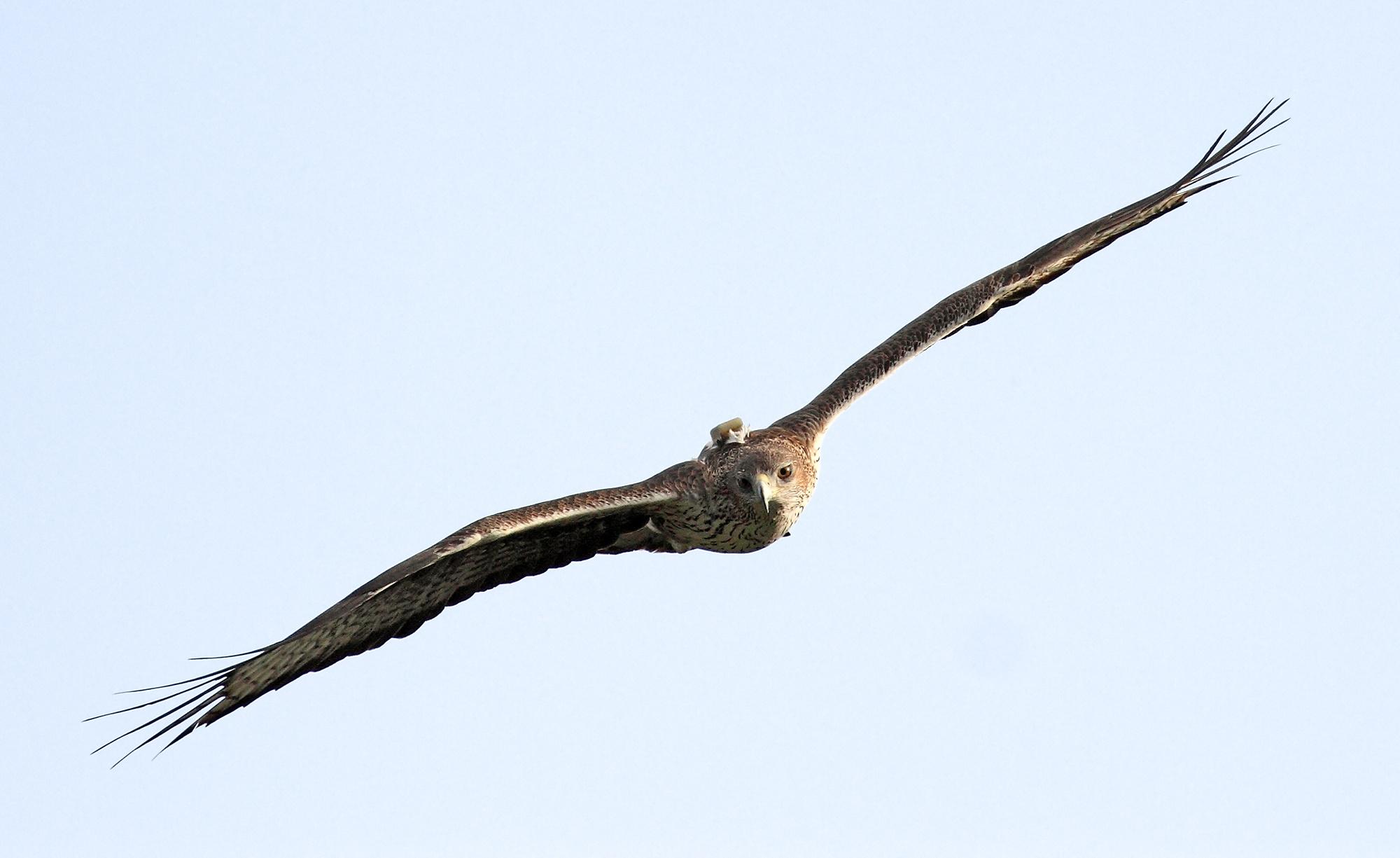 Águila de Bonelli con un emisor GPS adosado a la espalda. Imagen: Sergio de la Fuente / Grefa