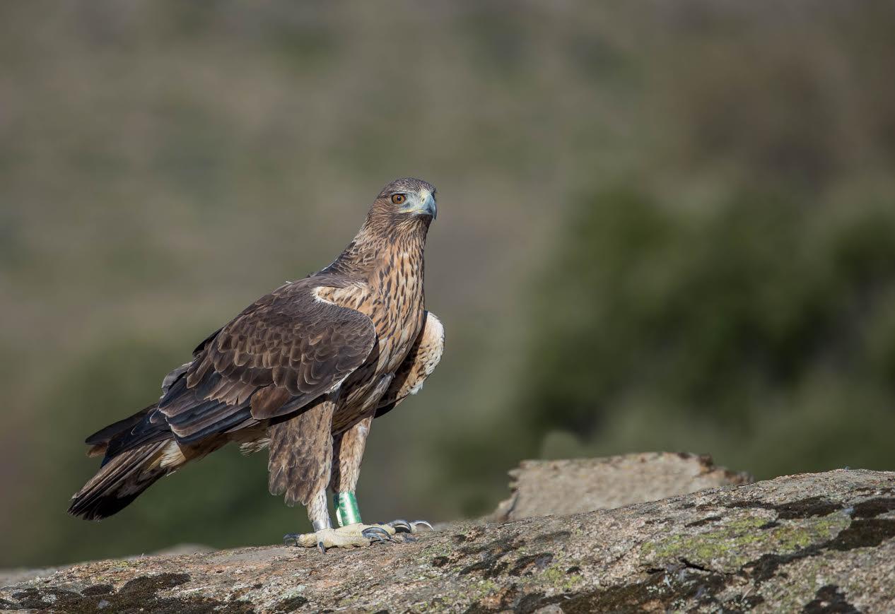 Ejemplar joven de águila perdicera o de Bonelli, con la que Grefa lleva trabajando en el proyecto Aquila a- Life. Imagen:  Alberto Álvarez / Grefa