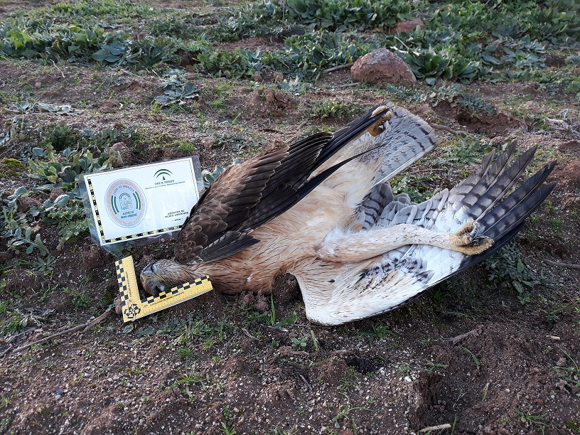 Águila de Bonelli joven electrocutada en el tendido eléctrico antes de ser corregido. Imagen: Manuel Rodríguez / Grefa