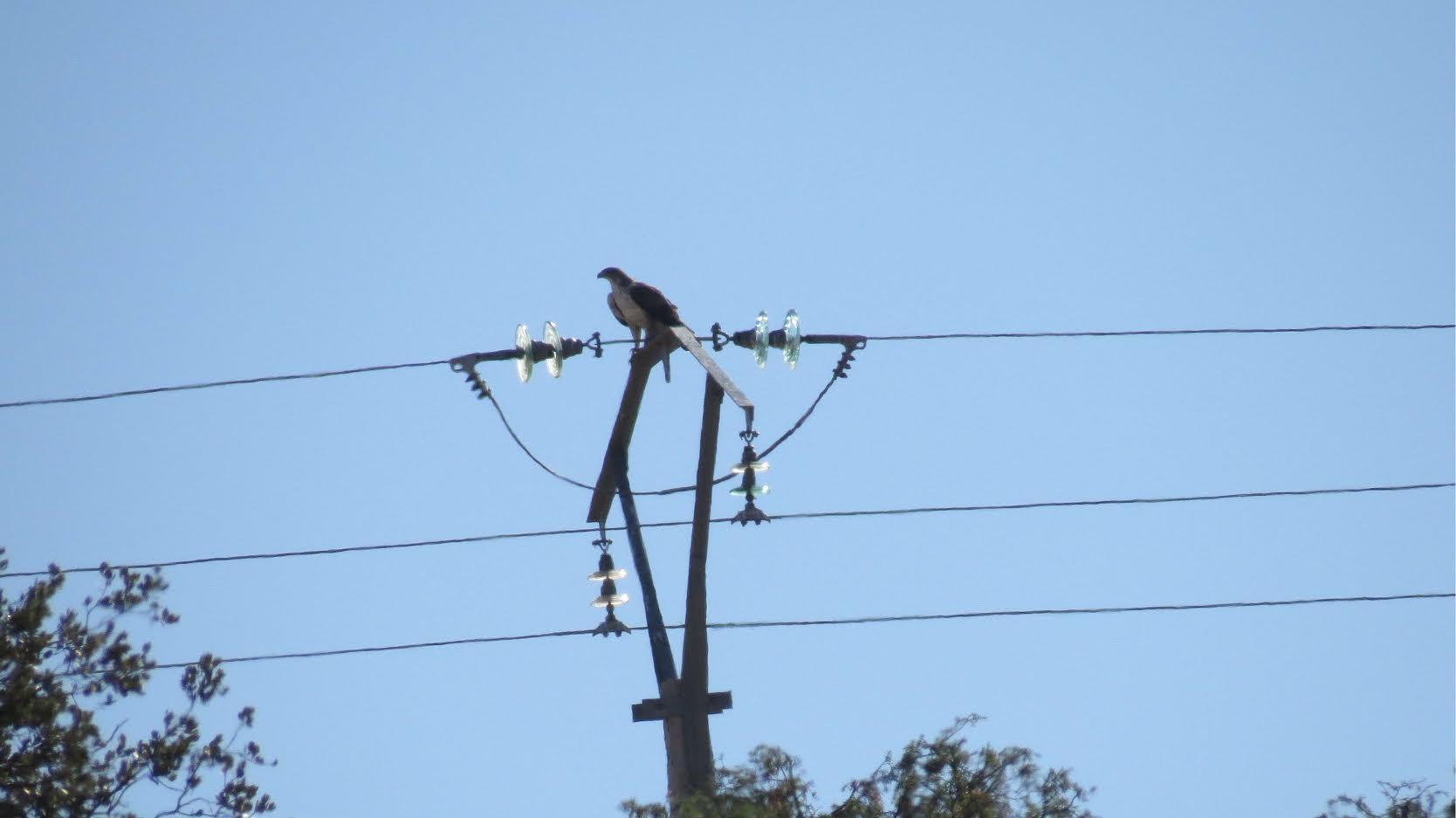 Águila de Bonelli posada en el apoyo de un tendido eléctrico. Imagen: Aquila a-LIFE