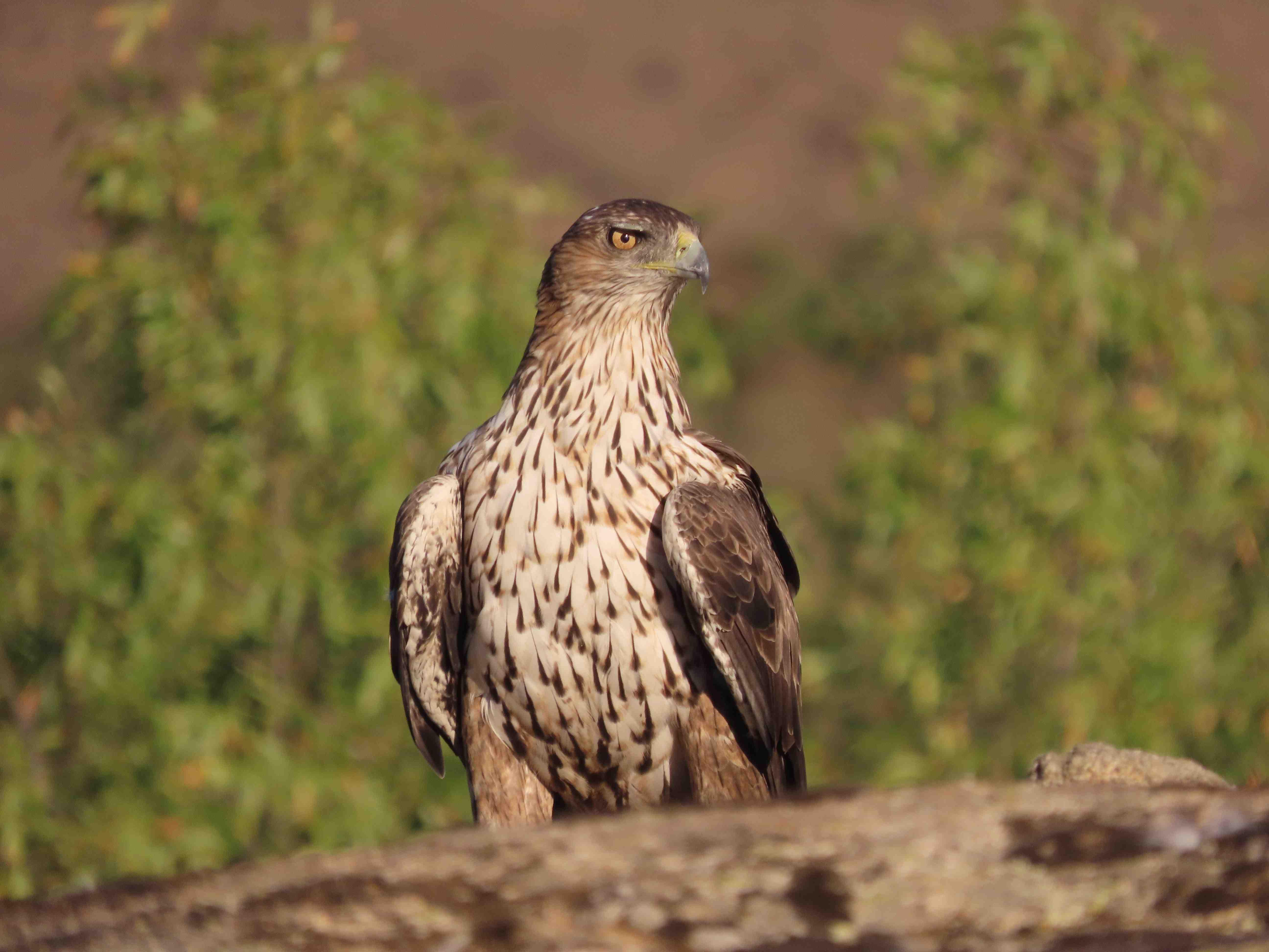 Águila de Bonelli posada. Las electrocuciones son la principal causa de muerte de esta especie. Imagen: GREFA