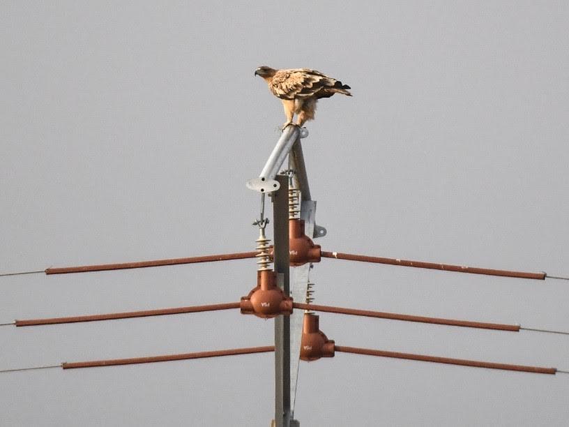 Águila imperial ibérica posada sobre un apoyo eléctrico debidamente equipado con elementos aislantes, lo que le confiere una gran seguridad para las aves. Imagen Adensva