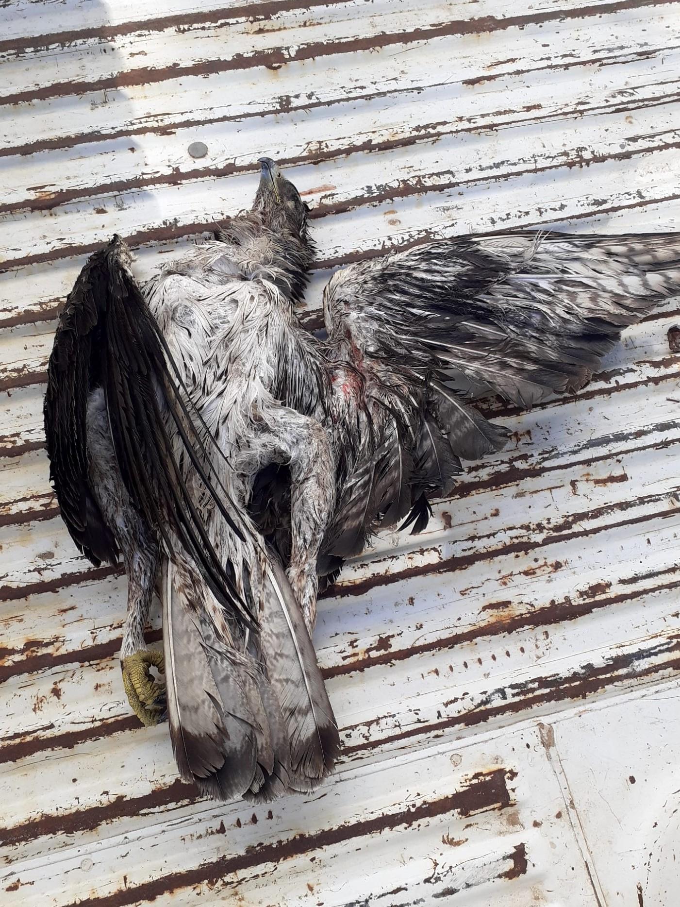 Águila perdicera hallada muerta esta semana bajo el cableado de un tendido eléctrico valenciano no señalizado. Imagen: SOV