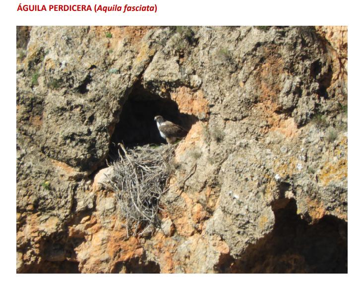 Un ejemplar de águila perdicera en su nido. Imagen: CARM