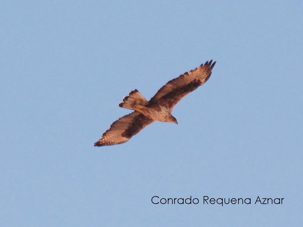 Adulto de águila perdicera (Aquila fasciata) en vuelo. Imagen cedida por el naturalista Conrado Requena Aznar