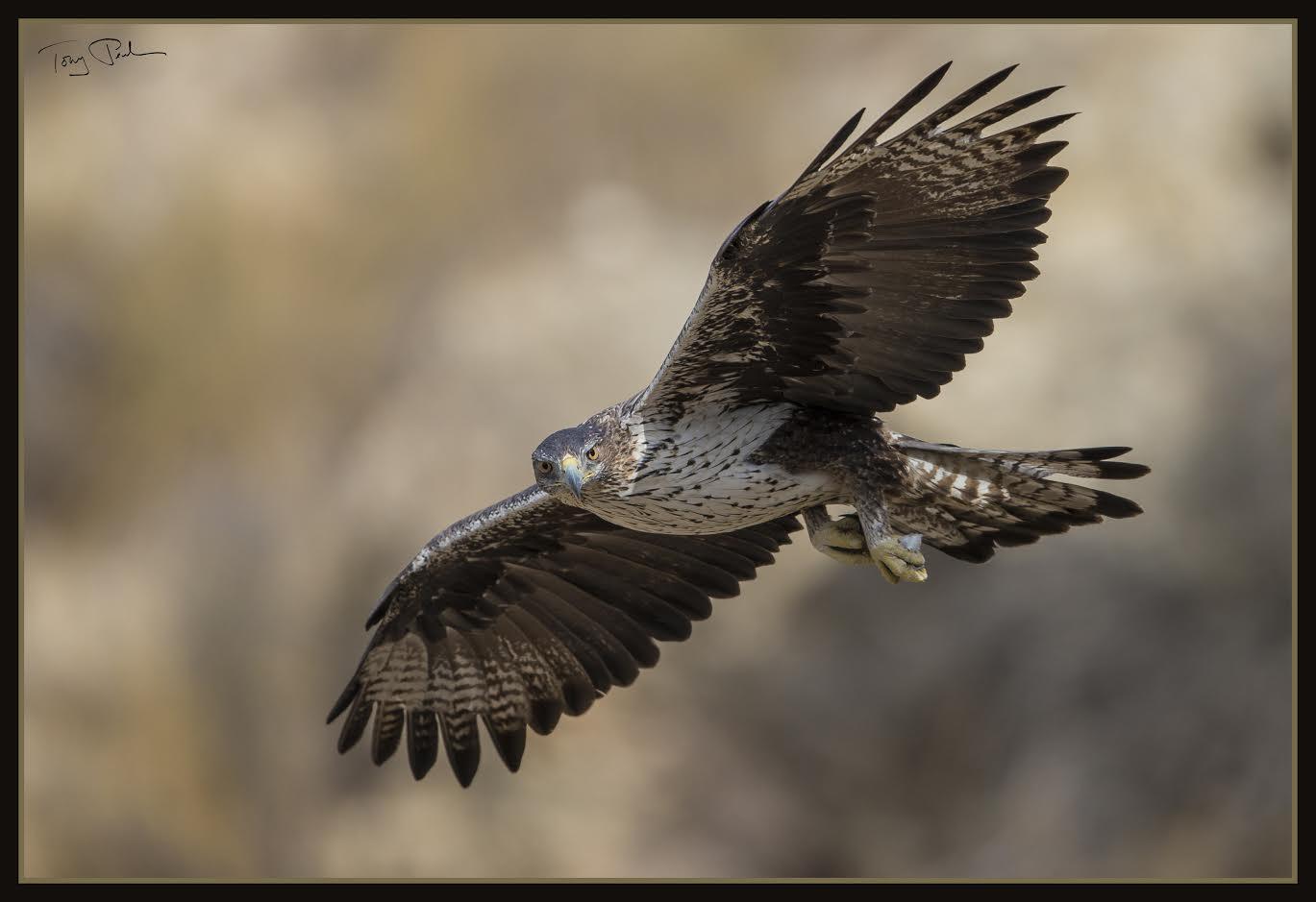 El águila perdicera, una de las especies que ya tiene Plan de Recuperación, redactado en 2016. Imagen: Toni Peral