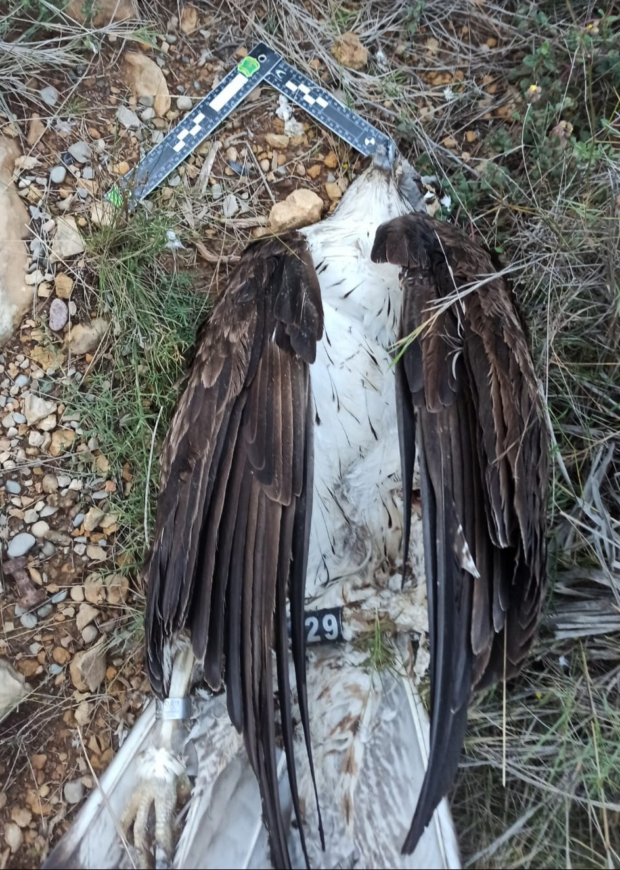 Águila perdicera electrocutada en marzo de 2021 en Ribesalbes (Castellón). Imagen: Adensva