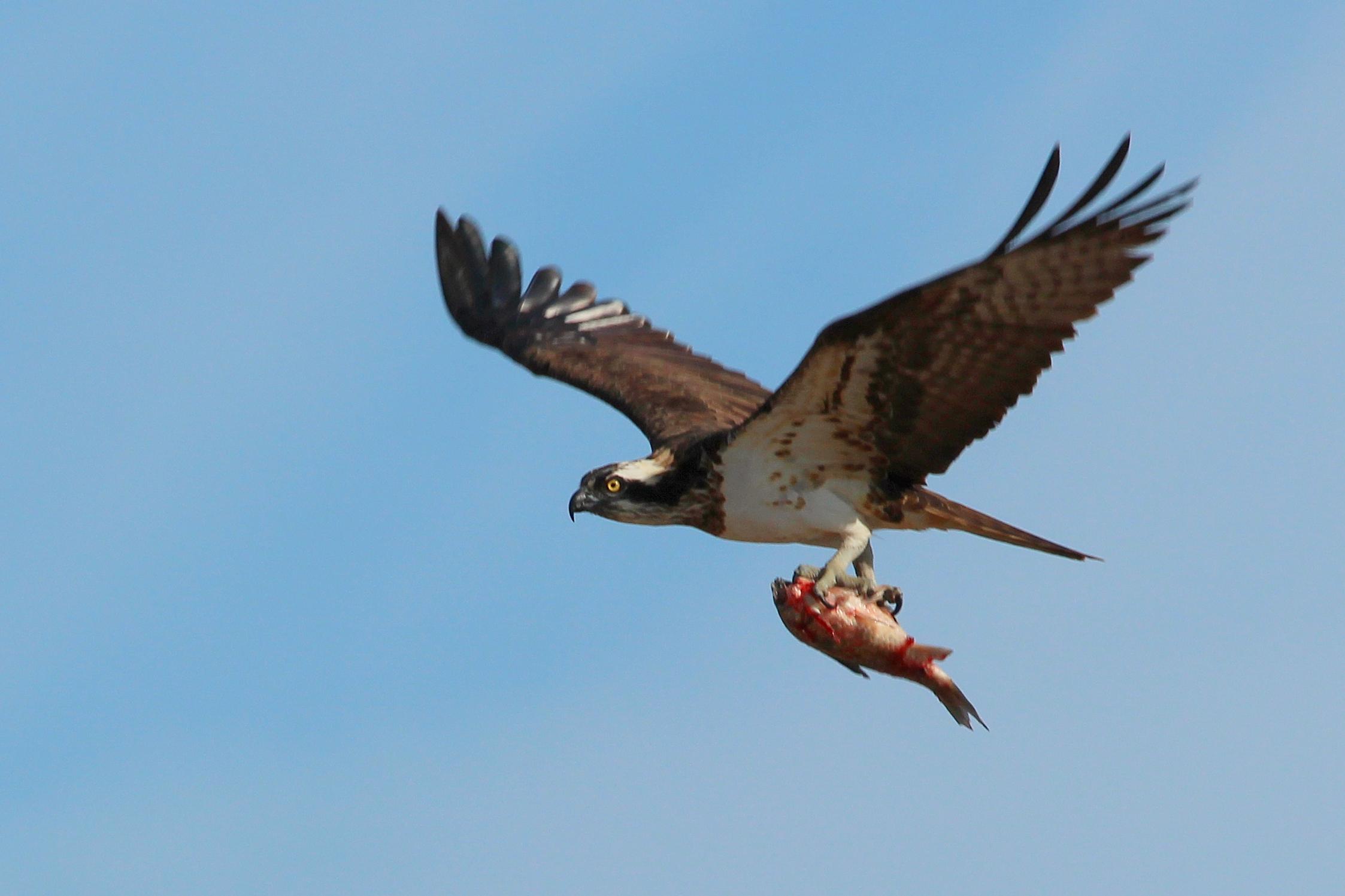 Una águila pescadora transporta a su presa en las garras. Imagen: Pablo Vera / GV