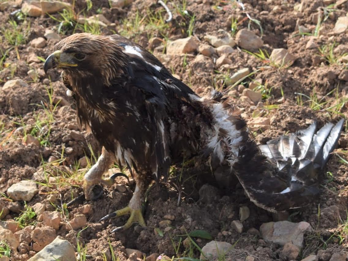 Águila real agonizante tras sufrir una electrocución 2 semanas atrás. Las lesiones le imposibilitaban totalmente para el vuelo. Murió a causa de las graves heridas. Imagen Adensva