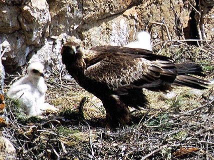 Un ejemplar de águila real en el PR de Sierra Espuña. Imagen: CARM