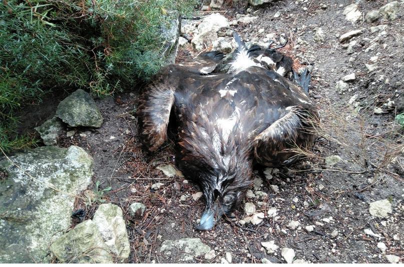 Imagen del águila real encontrada muerta en el monte Arabí, facilitada por Anida yeca. Fotografía: Twitter Agentes Medioambientales Región de Murcia